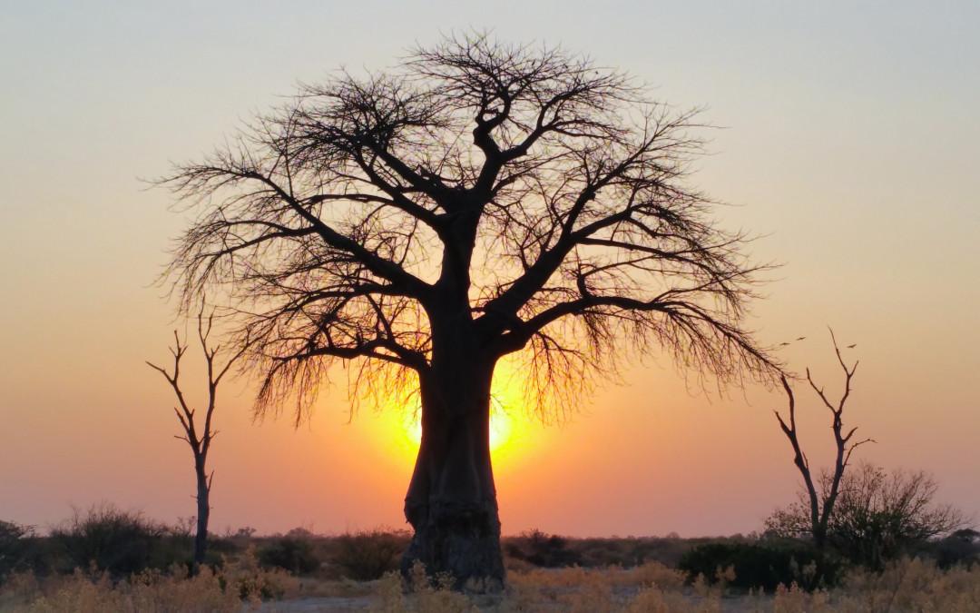 Como crescem as sementes de baobá